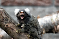 Common Marmoset or White Eared Marmoset